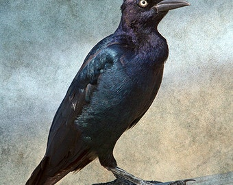 Bird Photography, Bird Art, Raven, Crow Photograph, Black & White, Gothic Decor, Black Bird Print, Dark Blackbird -  Portrait of a Grackle