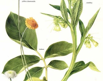 PRINT SALE 20% OFF Vintage Yellow and Roman Chamomile, Walnut, Comfrey Floral, Botanical Health Plants Print for Framing, Medicinal, Herbal