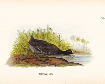 1890 Audubon Bird Print - American Coot - Vintage Antique Book Plate for Natural Science or History Lover Great for Framing 100 Years Old