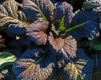 Organic Mustard Red Giant Heirloom Vegetable Seeds