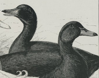 Antique Print of Aylesbury and Cayuga Ducks - 1902 Vintage Black-and-White Print
