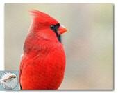 Cardinal Photograph Red Bird Photo Songbird Closeup 8x10 Fine Art Photography Nature Wildlife Winter Bird Wall Decor