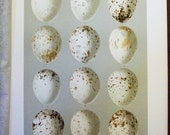 1895 Smithsonian Bird Egg Print - Antique Lithograph - Speckled Hawk Eggs          -8