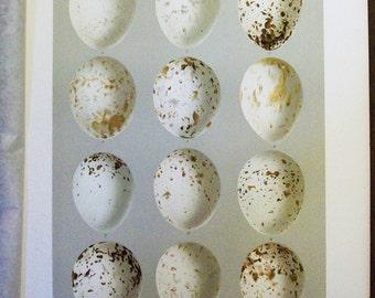 1895 Smithsonian Bird Egg Print - Antique Lithograph - Speckled Hawk Eggs          -8