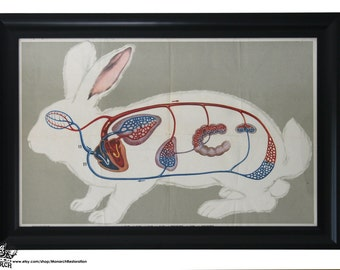Vintage Framed Chinese Anatomical Rabbit Educational Print - 20x30 - Great Colors - Large Size