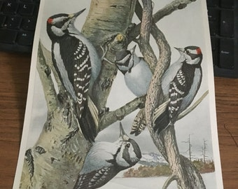 Circa 1915 Plate 59 Downy woodpecker Hairy Woodpecker print image 7 x 11 approx. great image 101 years old.