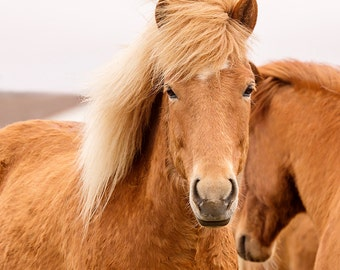 Beautiful Icelandic Horse Photograph in Color | Equine Wall Art