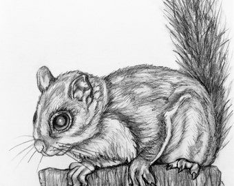 Original Pencil Drawing - Flying Squirrel 10