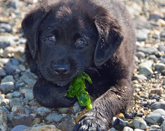 Black Labrador Puppy Salty Sea Dog Tries Seaweed Snack Photo Greeting Card  Dog Portrait Card