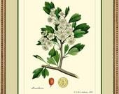 HAWTHORN -  Vintage Botanical print reproduction  286