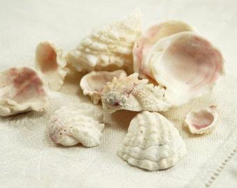 11 spiny jewel box seashells (no.206)