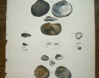 Vintage Shells Litho of Endicott New York Scallop Print
