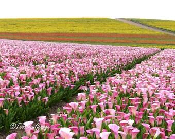 Field of Calla Lily  Photography, Garden Photo, Botanical Photo