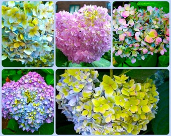 Beautiful Summer Hydrangeas Note Cards - Pretty Pastels - Set of 5 - Handmade Photo Art Cards - Birthdays, Thanks, Blank