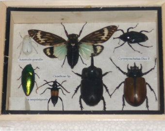 Real Mixed Beetle Cicada Insect Boxed Framed Taxidermy Display Wood Box For Collectibles /S08S