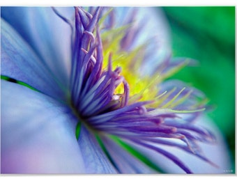 A vibrant, colorful Macro Photo of a Clematis in full bloom on a warm summer day.