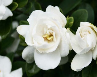 blue gardenia flower – Etsy