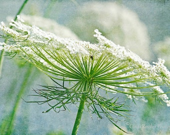 Queen Anne's Lace 4, Photography,  Botanical Photography, Nature Photography