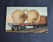 Tall Tale Souvenir Postcard ~ Exaggerated Vegetable Postcard ~