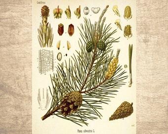 Pine Botanical Illustration - giclee print, choose your size - Botanicals, Vintage, Illustrations, Poster, Art, Decor, Botany