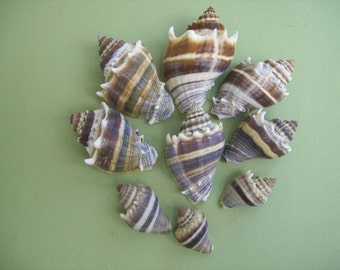 Set of 9 Crown Conch Shells