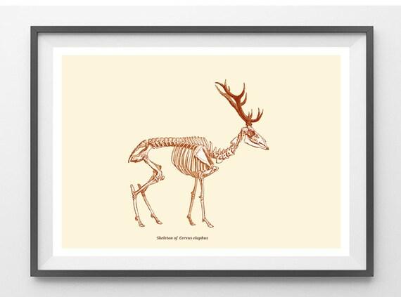 Red Deer Skeleton Print from Antique Illustration Recovered Image
