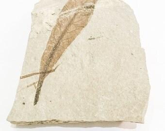 Delesserites Bolcemsis Mid Eocene