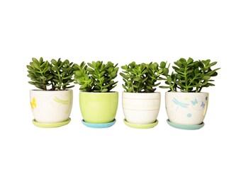 2 Mini Jade Plant Potted In Round Ceramic Planters