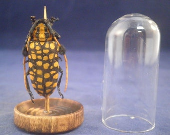 TAXIDERMY ARISTOBIA APPROXIMATOR Orange Spotted Longhorn Beetle Insect Entomology
