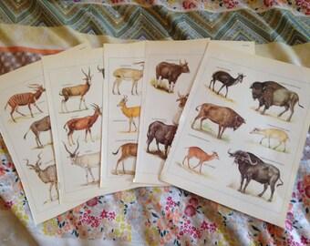 5x Full Colour Plates - Horned Mammals