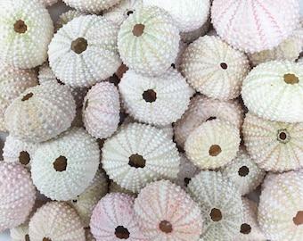50 Bulk/Wholesale Pink Sea Urchins - FREE SHIPPING!