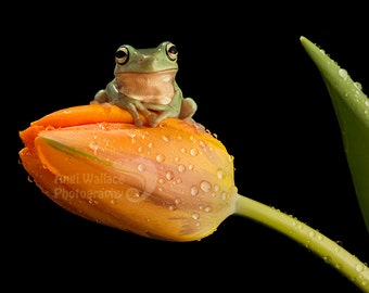 Large print of a young Whites tree frog sitting on a tulip with a black back ground