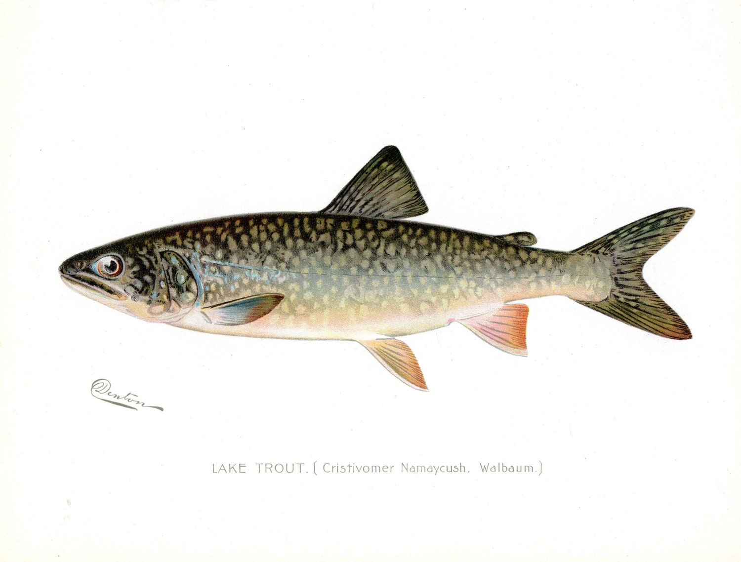 1899 lake trout antique denton fish print new york for New york state fish