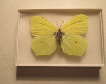 A preserved and mounted British butterfly,the Brimstone