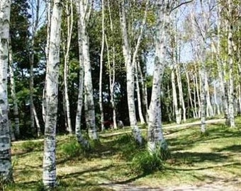 White Japanese Birch Tree- 25 Seeds