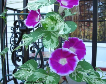 Morning Glory Cameo Elegance * Variegated Leaves!! Seeds