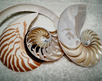 3 Cut Natural Nautilus Seashell, Sliced Seashells, Sliced Nautilus, Wholesale Nautilus Seashells, Nautilus Shell