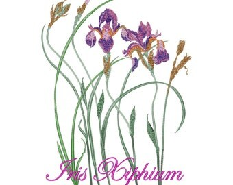 Iris Xiphium. Flowers - Machine Embroidery Design - Instant Download - Four design