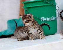 Jamaican Blue Eyed Kittens, Heineken, Portland Jamaica, Tabby Cats Photography Print