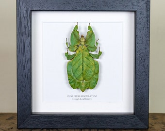 Gray's Leaf Insect in Box Frame (Colotis aurigineus) Real Insect Frame