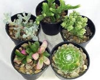 """Succulent Terrarium & Fairy Garden Plants - 5 Different Plants in 1.75"""" Pots"""