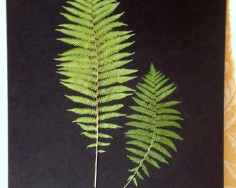 FREE SHIP  Real Pressed Ostrich Fern Botanical Herbarium Collection Set 16x19