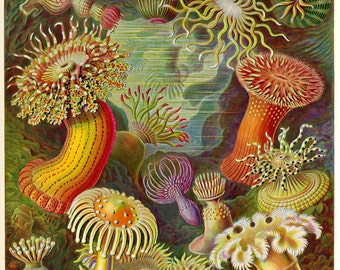 Coastal Decor, Ernst Haeckel, Sea Anemone, Giclee Print, Art Nouveau, Beach Decor, Beach House Decor, Nautical Art, Nautical Wall Art, Print