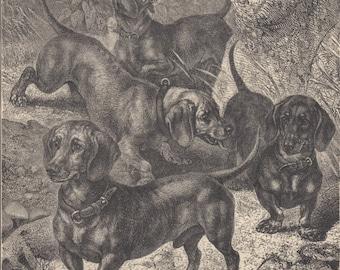 Rare Dachshund Dogs Dachshunds Antique Dog Engraving Dog Print 1881