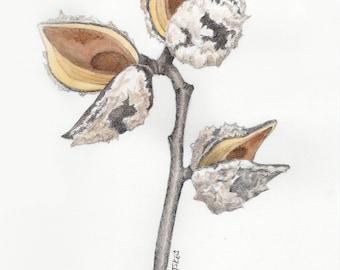 Hakea Seed Pod Drawing #4