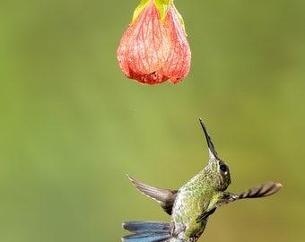 Kolibri Print, Kolibri Photo, Hummingbird Photo, Hummingbird Print, Bird Picture, Bird Photography, Hummingbird Art, White-necked Jacobin