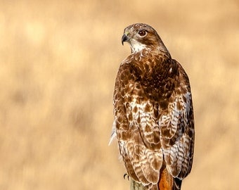 Red-tailed Hawk, Hawk Print, Hawk Photo, Hawk Image, Bird of Prey, Bird Picture, Bird Photography, Bird Art, Bird Print, Hawk, Raptor Photo
