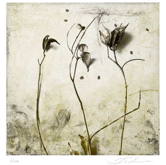 Milkweed Botanical Print, limited edtion, earth tones, square art, botanical art, organic art, flowers, pods, wall decor, sepia