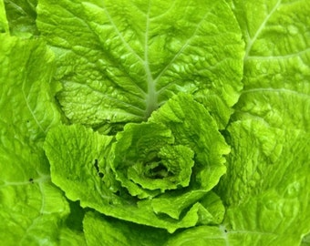 Romaine Lettuce Seeds - Homegrown Organic - Free Shipping