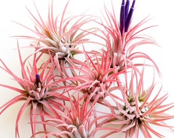 SALE 60% OFF! Tillandsia Ionantha Rubra Air Plant, Large size in blush or bloom